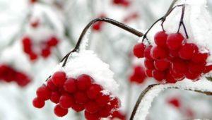 Beerenstrauch im Schnee, Winter, Garten